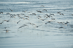 Sea of Cortez, Baja California, Mexico; a flock of Brown Pelican (Pelecanus occidentalis) birds taking flight over the water's surface
